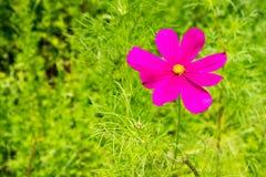Espèces d'un cosmos de fleur de cosmos de rose fleurissant dans le résumé Image stock