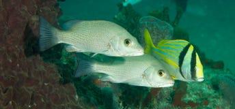 Espèces d'un Océan Atlantique d'animal marin. Image libre de droits