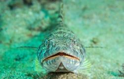Espèces d'un Océan Atlantique d'animal marin. Photographie stock libre de droits