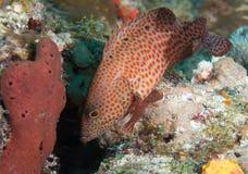 Espèces d'un Océan Atlantique d'animal marin. Images libres de droits