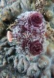 Espèces d'un Océan Atlantique d'animal marin. Photo stock