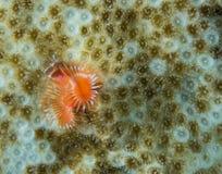 Espèces d'un Océan Atlantique d'animal marin. Image stock