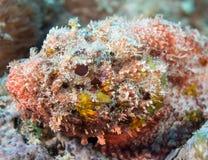 Espèces d'un Océan Atlantique des poissons Photo stock