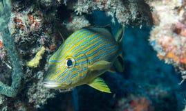 Espèces d'un Océan Atlantique des poissons Photographie stock libre de droits