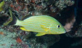 Espèces d'un Océan Atlantique des poissons Photo libre de droits