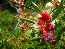 Espèces d'usine de baume dans le jardin, belle fleur Photographie stock