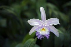 Espèces de belle et exotique orchidée Photos stock