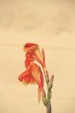 Espèces de Canna et fleur hybride Images libres de droits