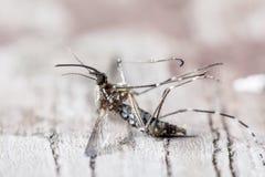 Espèces de cause de moustiques de malaria Photo stock