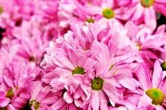 Espèces de chrysanthème Photo stock