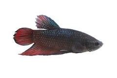 Espèces de combat rouges et noires Thaïlande de poissons Photo stock
