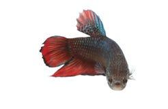 Espèces de combat rouges et noires Thaïlande de poissons Image libre de droits