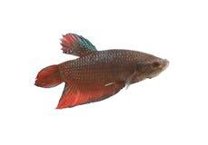 Espèces de combat rouges et noires Thaïlande de poissons Image stock