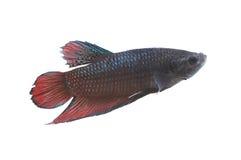 Espèces de combat rouges et noires Thaïlande de poissons Photos stock