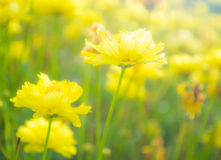 Espèces de Comos Photo stock