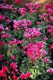 Espèces de Cycamen, Nice couleur rose Image libre de droits