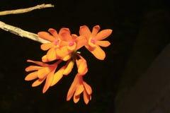 espèces de dendrobium Photographie stock libre de droits