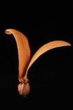 Espèces de Dipterocarpus. Photographie stock