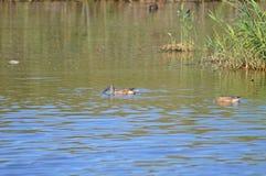 Espèces de Duck Pond With Some Unusual Images stock