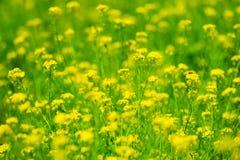Espèces de Fleur-brassica de Canola. Photo libre de droits