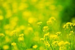 Espèces de Fleur-brassica de Canola. Photographie stock libre de droits