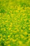 Espèces de Fleur-brassica de Canola. Images stock