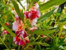 Espèces de fleur d'usine de baume Photographie stock libre de droits