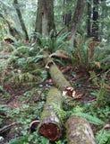 Espèces de Ganoderma dans la forêt de cigûe Photographie stock libre de droits
