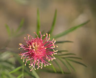 Espèces de Grevillea un Wildflower australien Photo stock