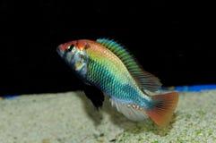 Espèces de Haplochromis rouges Images stock