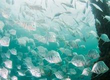Espèces de l'Océan Atlantique des poissons Photos libres de droits