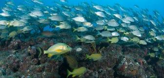 Espèces de l'Océan Atlantique des poissons Photo stock