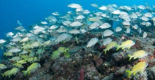 Espèces de l'Océan Atlantique des poissons Image libre de droits