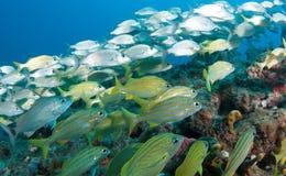 Espèces de l'Océan Atlantique des poissons Images stock
