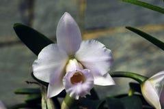 Espèces de l'orchidée une des plus grandes familles botaniques Photographie stock