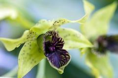 Espèces de l'orchidée une des plus grandes familles botaniques Image stock