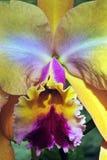 Espèces de l'orchidée une des plus grandes familles botaniques Photos stock