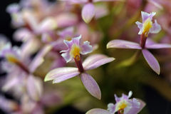 Espèces de l'Orchidaceae un des plus grandes familles botaniques Photographie stock libre de droits