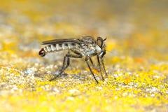 Espèces de Machimus de mouche de voleur avec la proie Photos stock