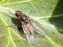 Espèces de mouche de portrait d'insecte Image libre de droits