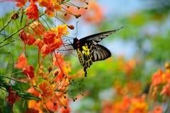 Espèces de papillon d'or, avec de belles fleurs Images stock
