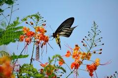 Espèces de papillon d'or, avec de belles fleurs Image libre de droits