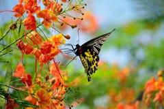 Espèces de papillon d'or, avec de belles fleurs Photo libre de droits