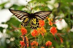 Espèces de papillon d'or, avec de belles fleurs Photos stock