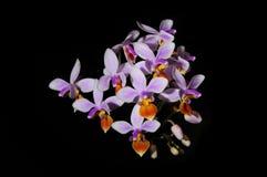 Espèces de Phalaenopsis. Photos libres de droits