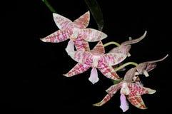 Espèces de Phalaenopsis (hieroghyphica de Phalaenopsis) Photographie stock