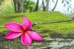 Espèces de Plumeria Photographie stock