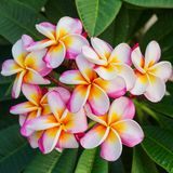 Espèces de Plumeria Photo stock
