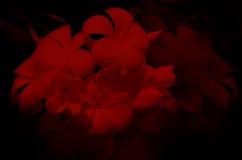 Espèces de Plumeria en rouge sur le fond noir Photo stock