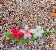 Espèces de Plumeria (fleurs de frangipani, arbre de Frangipani, de pagoda ou Te Image libre de droits